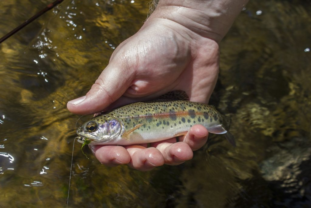 Laurel Creek rainbow trout