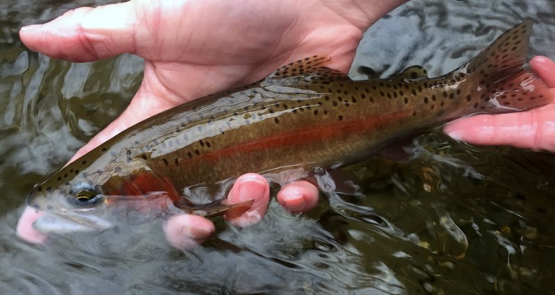 Rainbow trout caught on Little River while dry fly fishing yesterday