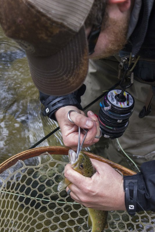 A brown trout caught dry fly fishing is prepared for release in the Smokies