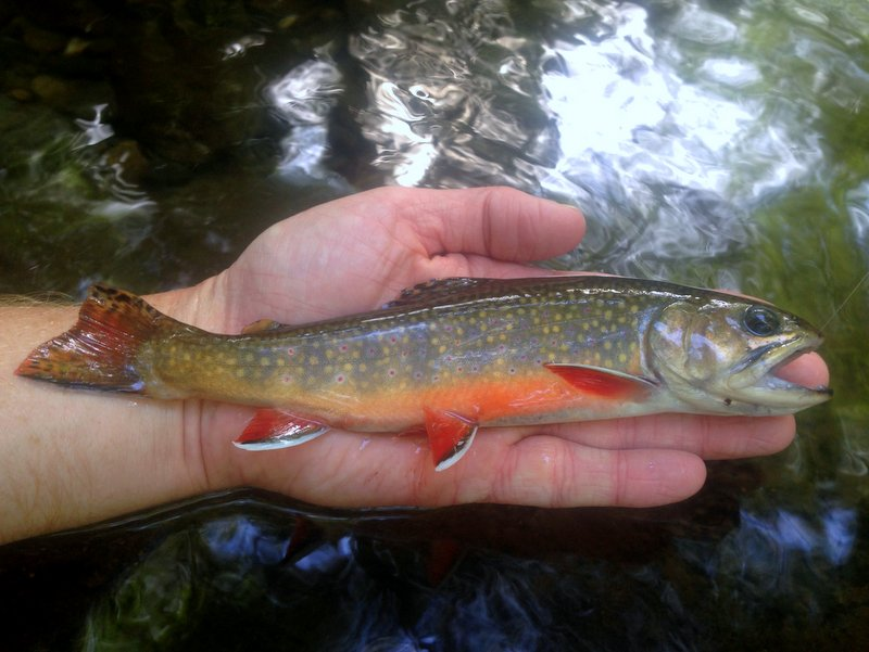 Brook trout caught on a beetle in the Smokies during terrestrial season
