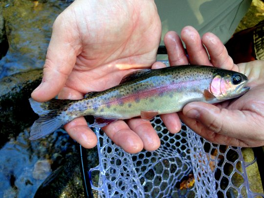 Beautiful fall rainbow trout