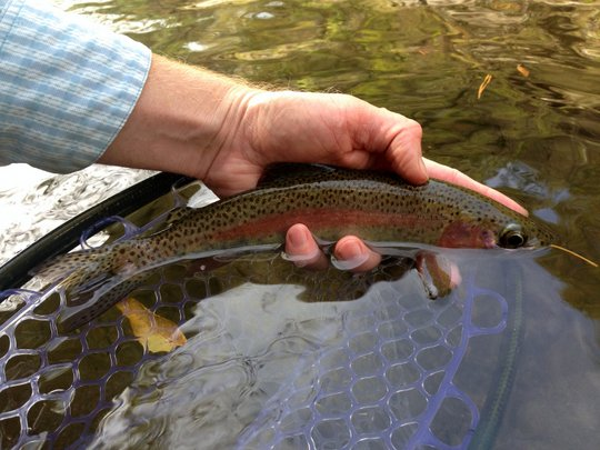 Smoky Mountain Rainbow trout in the fall