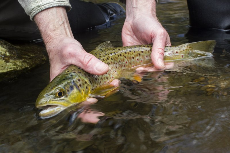 A beautiful Smoky Mountain brown trout on a caddis pupa