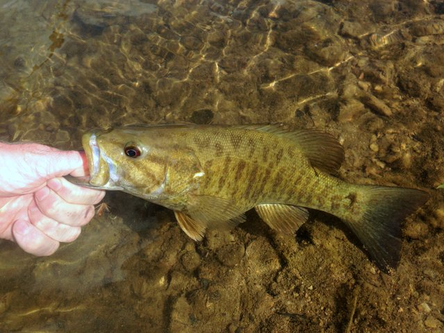 Smallmouth bass from a Highland Rim stream