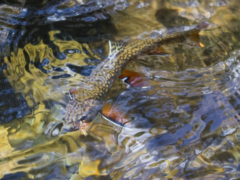 Great Smoky Mountains National Park brook trout on a dry fly