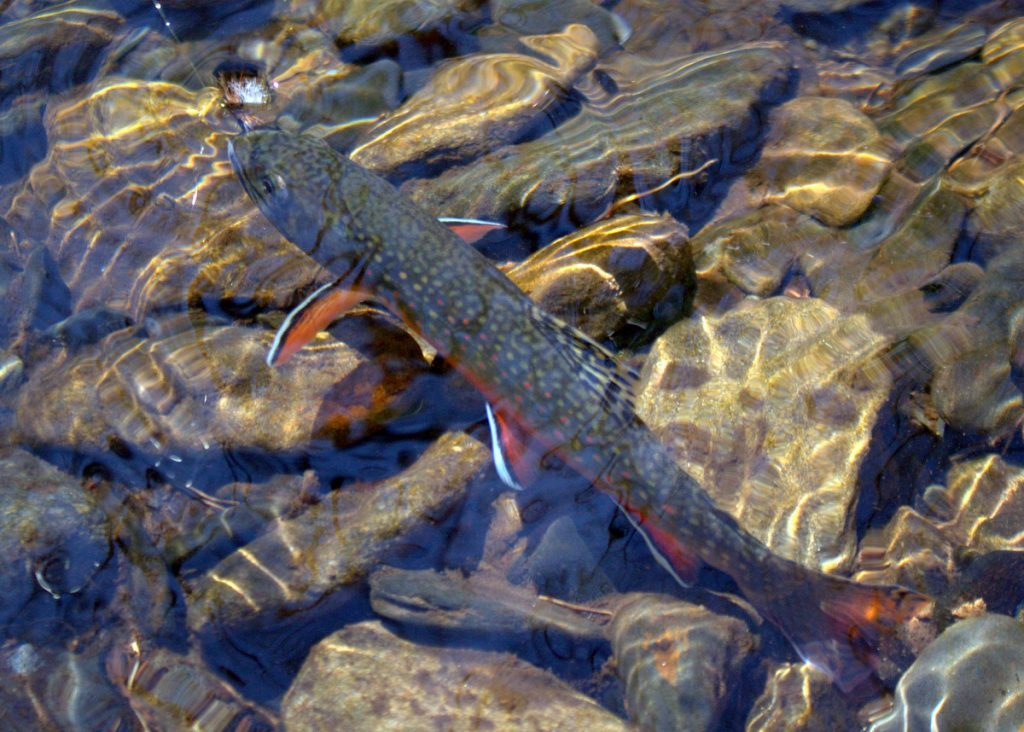 Brook trout from a Smoky Mountain stream called Sam's Creek in the Smokies