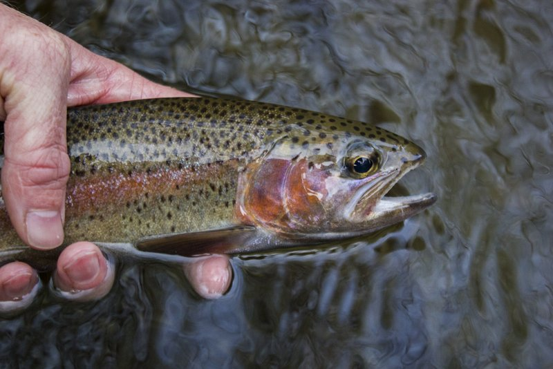 Fishing Little River rainbow trout below the Sinks in the Smokies