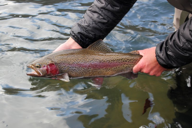 Clinch River trophy rainbow trout